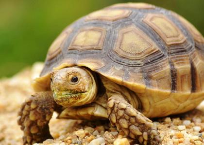 de qué se alimentan las tortugas