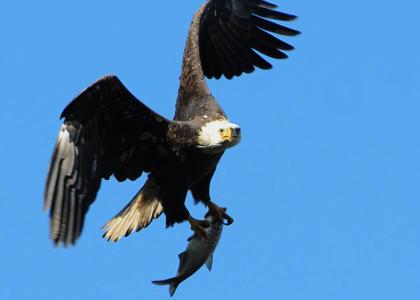 ¿De qué se alimentan las águilas?