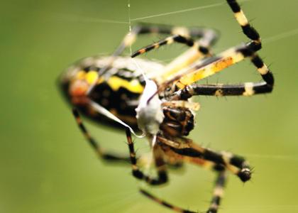 ¿De qué se alimentan las arañas?