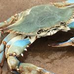 ¿Qué comen los cangrejos?