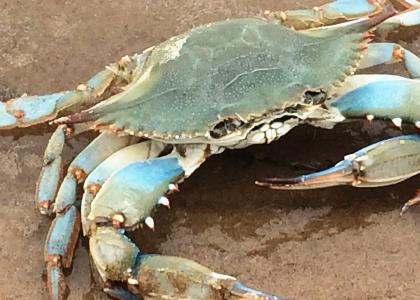 ¿De qué se alimentan los cangrejos?