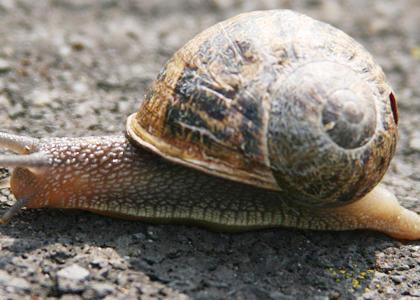 de qué se alimentan los caracoles