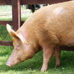 ¿Qué comen los cerdos?
