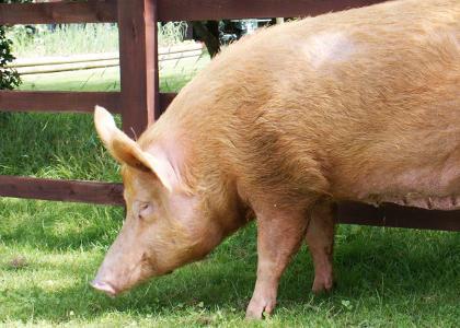 ¿De qué se alimentan los cerdos?