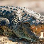 ¿Qué comen los cocodrilos o caimanes?
