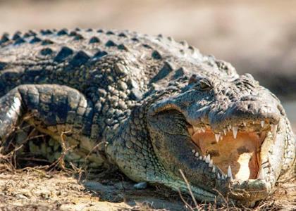¿De qué se alimentan los cocodrilos?