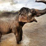 ¿Qué comen los elefantes?