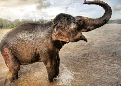 de qué se alimentan los elefantes