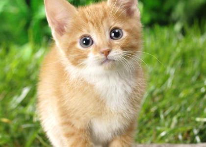 de qué se alimentan los gatos
