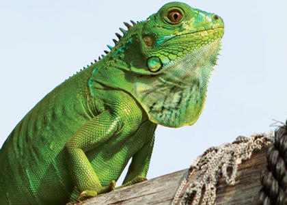 de qué se alimentan las iguanas
