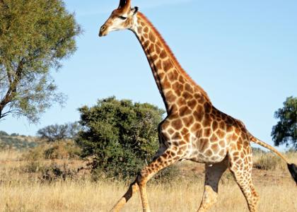 ¿De qué se alimentan las jirafas?