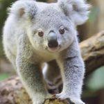 ¿Qué comen los koalas?