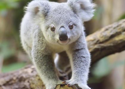 ¿De qué se alimentan los koalas?