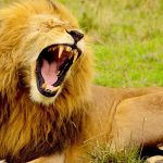¿Qué comen los leones?