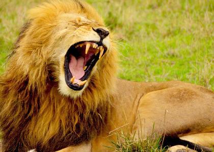 ¿De qué se alimentan los leones?