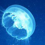 ¿Qué comen las medusas?