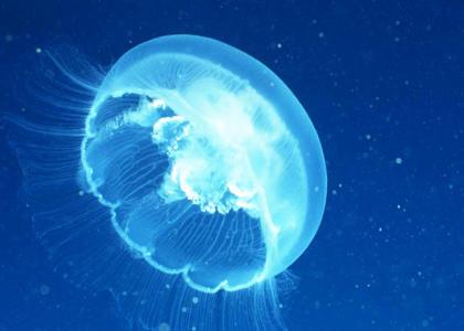 ¿De qué se alimentan las medusas?