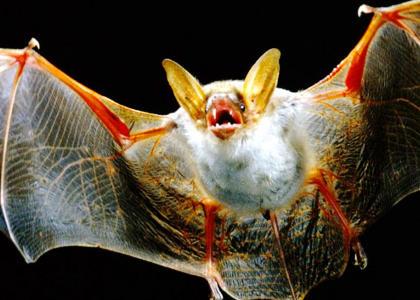 ¿De qué se alimentan los murciélagos?