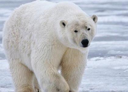 ¿De qué se alimentan los osos?