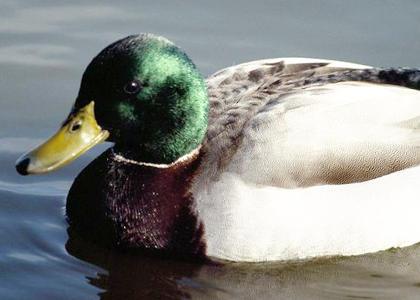 de qué se alimentan los patos