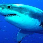 ¿Qué comen los tiburones?