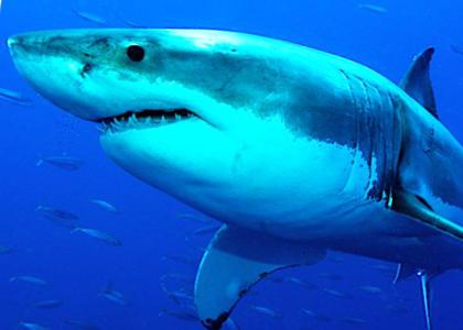 ¿De qué se alimentan los tiburones?