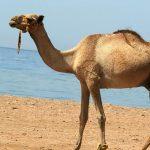¿Qué comen los camellos?