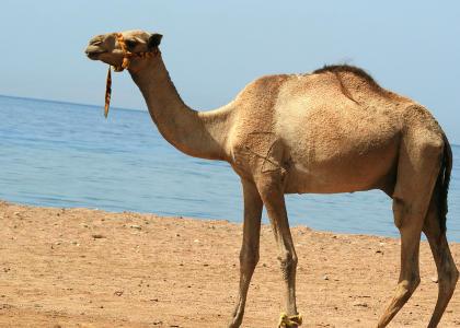 ¿De qué se alimentan los camellos?