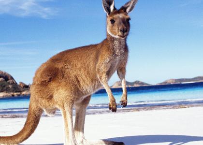 ¿De qué se alimentan los canguros?