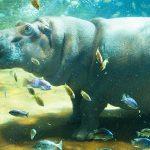 ¿Qué comen los hipopótamos?