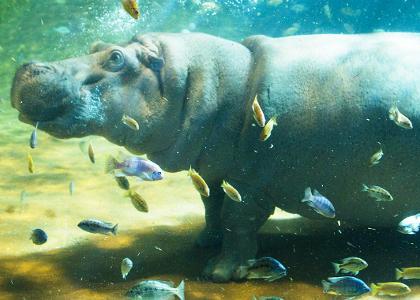 ¿De qué se alimentan los hipopótamos?