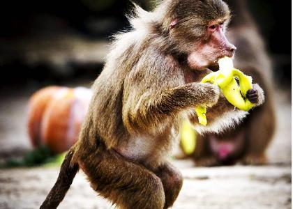 ¿De qué se alimentan los monos?