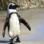 ¿Qué comen los pingüinos?