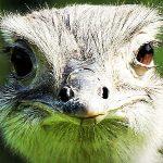 ¿Qué come el avestruz?