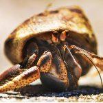 ¿Qué comen los cangrejos ermitaños?