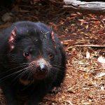 ¿Qué come el diablo de Tasmania?