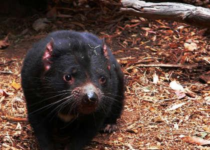 diablo-de-tasmania
