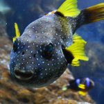 ¿Qué come el pez globo?