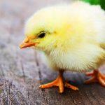 ¿Qué comen los pollitos?