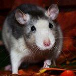 ¿Qué comen las ratas?