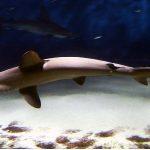 ¿Qué come el tiburón martillo?