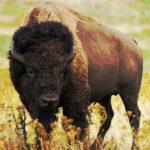 ¿Qué comen los búfalos?