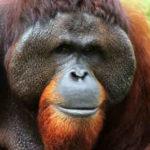 ¿Qué comen los orangutanes?