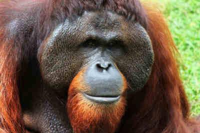 qué comen los orangutanes