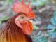 qué comen los gallos