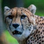 ¿Qué comen los guepardos?