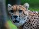 qué comen los guepardos chitas