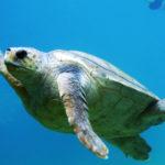 ¿Qué comen las tortugas de mar?