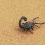 ¿Qué comen los escorpiones?
